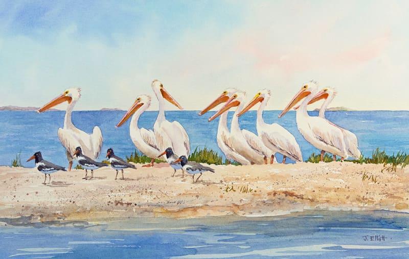 Cedar Key Pelicans